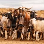 Ovejas y cabras en las bardenas